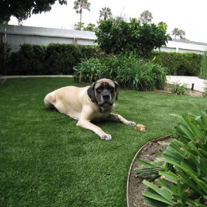 Dog relaxing on Fake Grass